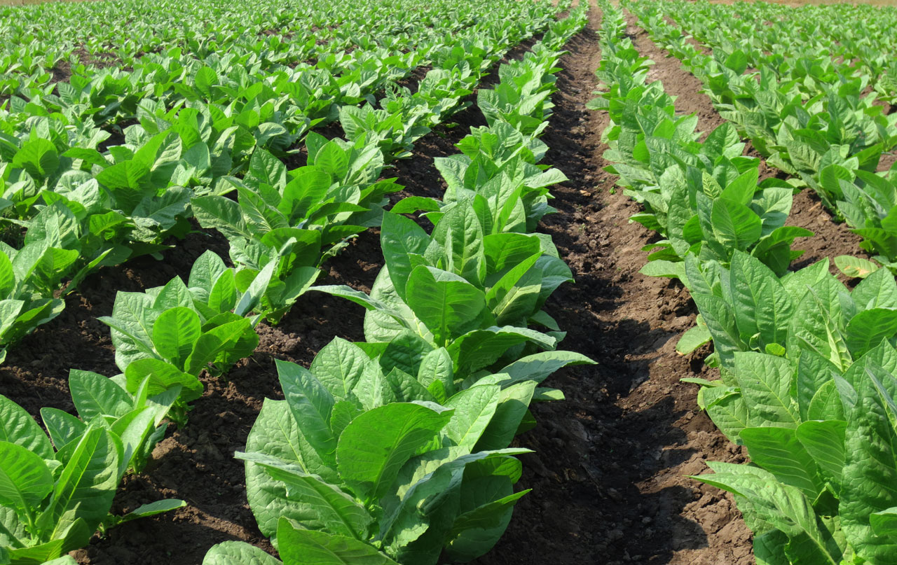 Tobacco Fields - Felix Assouline Cigars